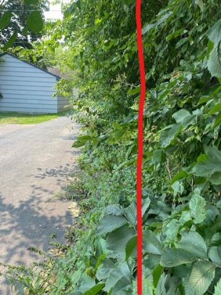 Overgrown hedge with line showing where to trim back to